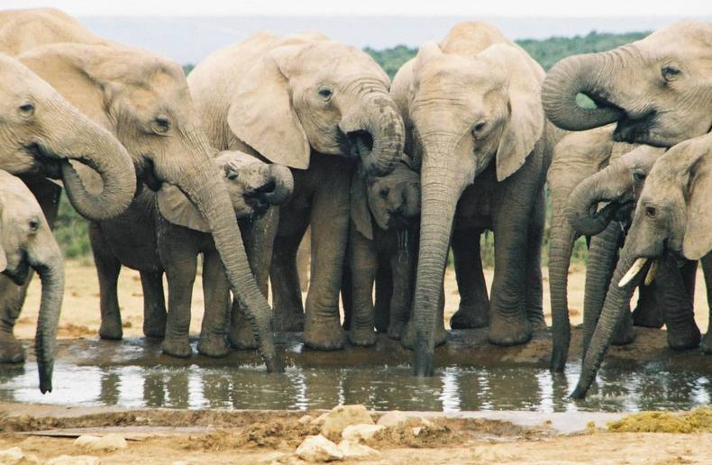elephants-drinking-at-waterhole